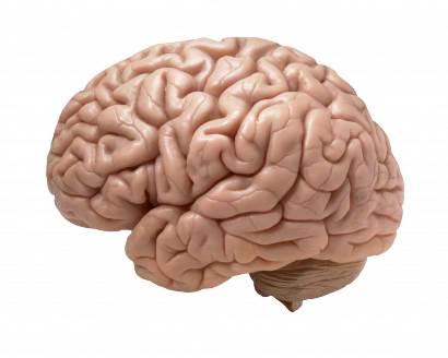 10 curiosidades del cerebro (parte 2)